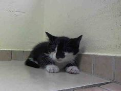 TO BE DESTROYED 5/12/14Brooklyn CenterMy name is TOD. My Animal ID # is A0998995.I am a male black and white domestic sh mix. The shelter thinks I am about 5 WEEKS old.I came in the shelter as a STRAY on 05/07/2014 from NY 11434, owner surrender reason stated was STRAY. I came in with Group/Litter #K14-176470.MOST RECENT MEDICAL INFORMATION AND WEIGHT05/08/2014 Exam Type OBSERVATION - Medical Rating is 3 C - MAJOR CONDITIONS , Behavior Rating is NONE, Weight 1.5 LBS.BARH EATING WET FOOD WELL…