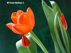 Foto de tulipan