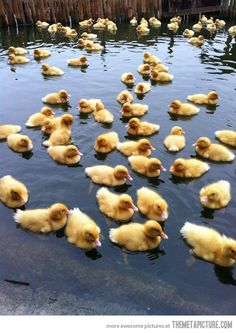 THE BABY DUCKY APOCALYPSE HAS COME!!! RUN FOR YOUR LIVES!