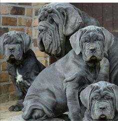 The four breeds most commonly called Mastiffs are the English Mastiff, the Neapolitan Mastiff, the Bull Mastiff and the Tibetan Mastiff. Baby Dogs, Pet Dogs, Dog Cat, Chihuahua Puppies, Pets, Doggies, Giant Dog Breeds, Giant Dogs, Beautiful Dogs