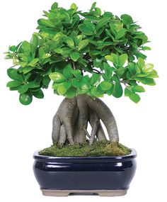 """Brussel's Bonsai Gensing Grafted Ficus in Clay Planter at Lowe's. There are over 600 species of Ficus, most of them tropical and evergreen. Ficus produces a unique """"fruit"""" which is actually an inverted flower. Ficus is Ficus Bonsai Tree, Bonsai Trees For Sale, Bonsai Tree Care, Indoor Bonsai Tree, Bonsai Plants, Bonsai Garden, Bonsai Wire, Indoor Plants, Ficus Microcarpa Ginseng"""