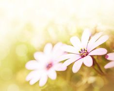 daisy photography spring 8x10 11x14 fine art by mylittlepixels