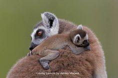 Loving Lemurs by Ashley Vincent l #love #hug