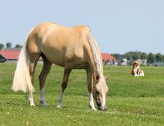 50% German Riding Pony, 23,5% Welsh, 11% Arabian mare Leuns Veld's Donnatella