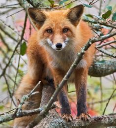 The red fox is the largest of the true foxes and the most abundant member of the Carnivora, being distributed across the entire Northern Hemisphere from the Arctic Circle to North Africa, Central America and Asia