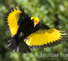 The regent bowerbird is a medium-sized, up to 25 cm long, sexually dimorphic bowerbird. The male bird is black with a golden orange-yellow crown, mantle and black-tipped wing feathers. It has yellow bill, black feet and yellow iris. Wikipedia Scientific name: Sericulus chrysocephalus Higher classification: Sericulus Rank: Species