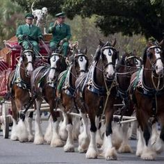 Clydesdale beauties...i remember the budweiser christmas commercials with these horses....awwwww the memories!!