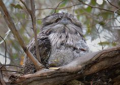 Tawny Frogmouth, Podargus strigoides, and young