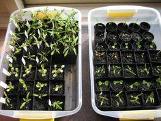 pinterest.com/eclectickneads - trays of seedlings inside a sunny window: Wormwood - http://foodnstuff.files.wordpress.com/2012/09/wednesday-001.jpg