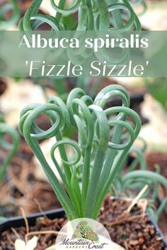 Albuca spiralis 'Frizzle Sizzle'®: A bulb succulent with distinctive, corkscrew foliage that can be planted high in the soil with some of the bulb exposed. Its large, yellow green flowers emerge on robust stalks in spring and have a strong vanilla fragrance. Grow this variety in bright sunlight to induce tighter leaf curling.#raresucculents #albuca #affiliatelink #indoorsucculents Indoor Succulents, Succulent Soil, Cacti And Succulents, Planting Succulents, Indoor Plants, Wholesale Succulents, Lower Lights, Grow Lights