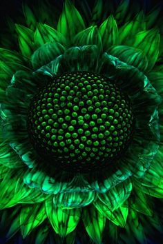 Sunflower in green.
