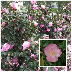 Lady Gowrie Camellia (Camellia x Williamsii) is a shade loving plant; some very good shade plants that are hardy and bloom in the winter month or early spring Shade Flowers, Water Flowers, Shade Plants, Shade Perennials, Coastal Style, Coastal Decor, Modern Coastal, Coastal Cottage, Coastal Industrial