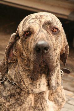 Breeds for future characters The Fila Brasileiro Beautiful Dogs, Animals Beautiful, Unusual Dog Breeds, Dog Breeds List, Loyal Dogs, Bully Dog, Different Dogs, Mundo Animal, Fauna