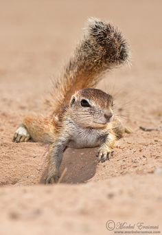 """""""Natural Parasol"""" by Morkel Erasmus ~ A cute baby ground squirrel uses his tail as shade against the hot Kalahari sun."""