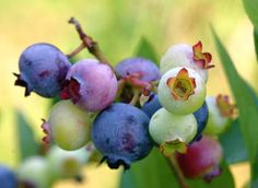 Maine designated wild blueberry (Vaccinium angustifolium, aiton) as the official state berry in 1991. Found mostly on hilly and rocky terrain, these delicious native berries were, until recently, harvested exclusively by hand using a special rake invented over 100 years ago by a Mainer (Abijah Tabbutt).