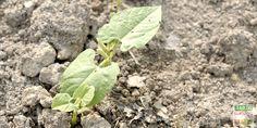 Gagner du temps sur les semis et la levée, cultiver en buttes, l'arrosage-noyade et le secret d'une longue récolte, la culture des haricots verts en 5 conseils-astuces http://www.jardipartage.fr/culture-haricot-vert/
