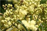 Factsheet - Acacia mearnsii (Black Wattle) - the pillar of Fukuoka's natural farming practices in his farm for soil improvement and more Natural Farming, Soil Improvement, Fukuoka, Acacia, Weed, Garden, Nature, Plants, Google Search