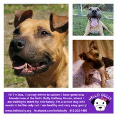 Isis is an adoptable Pit Bull Terrier Dog in Pittsburgh, PA. Are you looking for that laid back, cuddly, sweet companion that will love you forever? The dog that is house broken, loves to cuddle in be...