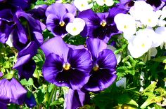 Pansies- just planted some this color!