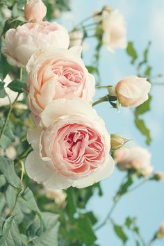 Long List Of Photos Of Numerous Roses Brother Cadfael