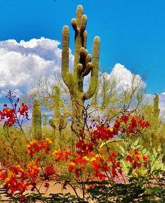The Paniolo Guest Ranch Tucson.  Desert saguaro cactus