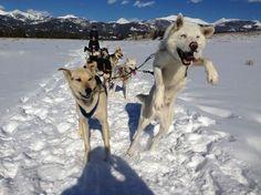 musher dogs