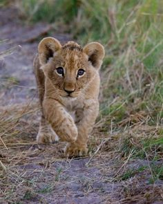 Cute Tiger Cubs, Cute Tigers, Big Cats, Cats And Kittens, Cute Cats, Cute Baby Animals, Animals And Pets, Funny Animals, Lion Pictures