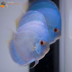 Tropical Freshwater Fish, Freshwater Aquarium, Tropical Fish, Diskus Aquarium, Fish Aquarium Decorations, Aquarium Stand, Guppy, Animals Live In Water, Acara Disco