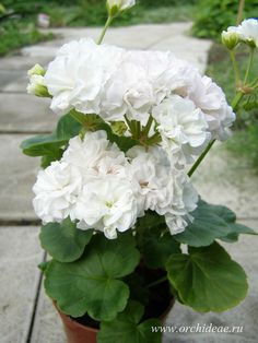 Arctic Princess - white pelargonium