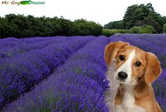 Our animal companions can benefit from many of the same holistic therapies that we enjoy. A safe method of using Lavender Essential Oil to help relax your dog is to simply let them smell it. To relieve anxiety rub a few drops of oil into your dog's collar