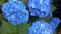"""Emerson St Hydrangeas, South Boston by Scavenger in Southie, via Flickr  (The perfect shade of blue.  """"Hydrangea Blue."""")"""
