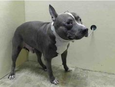 TO BE DESTROYED - 03/24/14 Brooklyn Center   My name is SMOKEY. My Animal ID # is A0994502. I am a male gray and white pit bull mix. The shelter thinks I am about 3 YEARS old.  I came in the shelter as a OWNER SUR on 03/21/2014 from NY 11212, owner surrender reason stated was BITEPEOPLE.  https://www.facebook.com/photo.php?fbid=775436985802516&set=a.611290788883804.1073741851.152876678058553&type=3&theater