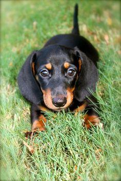 My old wiener dog Taz Dachshund Rescue, Dachshund Puppies, Dachshund Love, Cute Puppies, Cute Dogs, Dogs And Puppies, Daschund, Weenie Dogs, Doggies