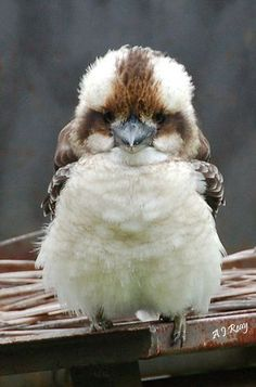 Baby kookaburra by Anita Reay.adorable, I've never seen! Kookaburras are all cute. Baby Kookaburra should be of course, cuteness overload! Pretty Birds, Beautiful Birds, Animals Beautiful, Beautiful Pictures, Cute Baby Animals, Animals And Pets, Funny Animals, Wild Animals, Animal Babies