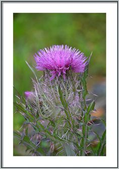Rd Erickson Framed Print featuring the photograph Purple Thistle - Cirsium Horridulum by rd Erickson