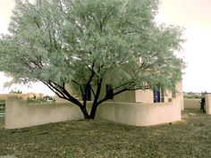 Image result for russian olive trees high desert