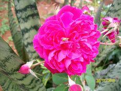 rosa comum e botoes