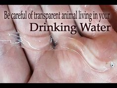 Be careful of transparent animal living in your drinking water!