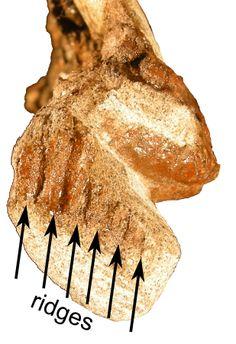 "Close-up of the beak region of the skull of ""Joe"", showing the ridged impressions of the keratinous beak. - Bébé Parasaurolophus"