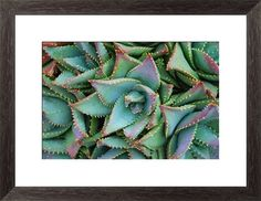 Close up of an Aloe Brevifolia plant in soft focus. Print by LazingBee at Photos.com