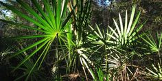 Saw palmetto is an extract derived from the deep purple berries of the saw palmetto fan palm (Serenoa repens), a plant indigenous to the coastal regions of the southern United States and southern California.