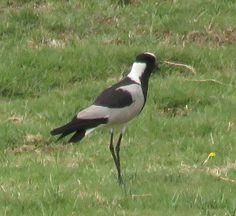 Bird Photos, Birding Sites, Bird Information: BLACKSMITH LAPWING, COURTYARD HOTEL, JOHANNESBURG,...