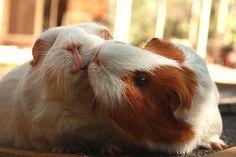 • guinea pig piggy valentines day guinea pigs cute animals cavy piggies cute pets guinea pig love cavies small animals small pets pocket pet cavy slave gimme-guineapigs •