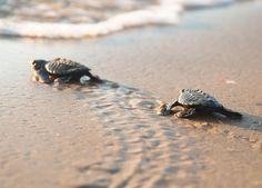 Kemp's ridley sea turtles on South Padre Island.