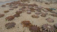 Hundreds of crown-of-thorns starfish found on a beach in southern Japan in January stranded themselves because they were starving, say researchers