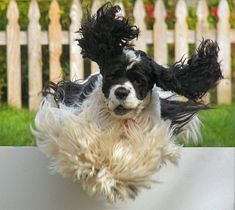 parti color American Cocker Spaniel