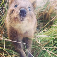 Quokkas Are The Happiest Animals In The World Quokka Animal And - 15 photos that prove quokkas are the happiest animals in the world
