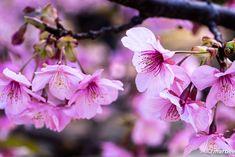 写真 河津桜 202101 季節は進む #写真 #photo #花 #flower My Works, Plants, Plant, Planets