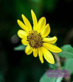 Mississippi wildflower, yellow daisy