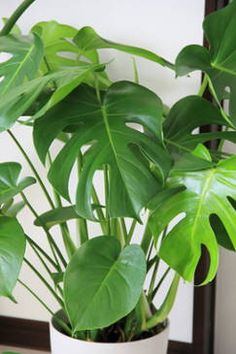 Monstera : rempotage, arrosage et conseils d'entretien The monstera is one of the favorite indoor pl Philodendron Monstera, Monstera Deliciosa, Ficus, Indoor Plants Low Light, Indoor Flowering Plants, Plante Monstera, Flower Pot Design, Pot Plante, Diy Plant Stand